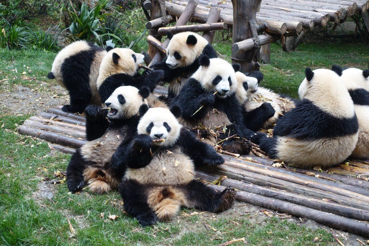Pandas und Buddhas